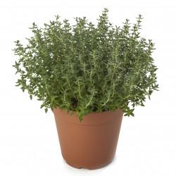 Saxifraga arendsii Flower...