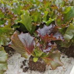 Saxifraga hypnoides Alba