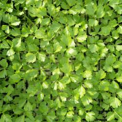 céleri vert à repiquer