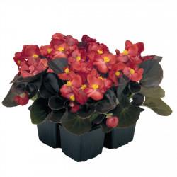 Begonia tuberosa...
