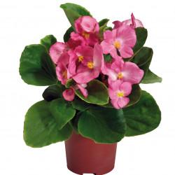 Begonia semperflorens...