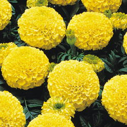 Tagetes erecta Atlanta jaune